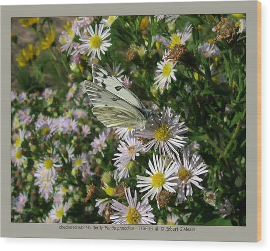 checkered white butterfly - Pontia protodice - 11SE06 Wood Print by Robert G Mears