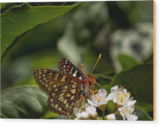 Checkerspot Sipping Nectar Wood Print