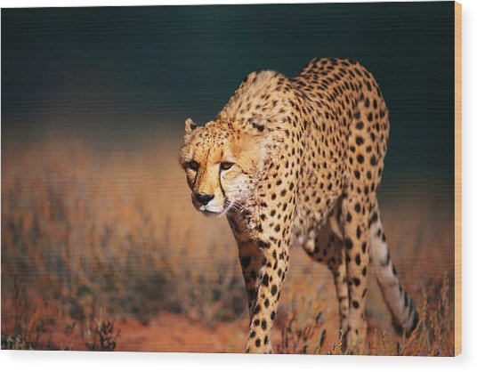 Cheetah Approaching From The Front Wood Print