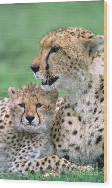 Cheetah Mother And Cub Wood Print