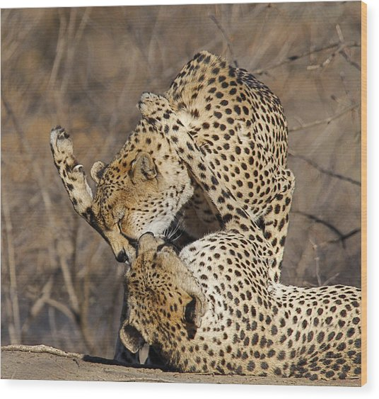 Cheetah Play Wood Print