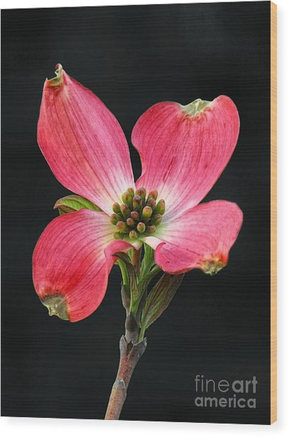 Cherokee Chief Dogwood Bloom Wood Print