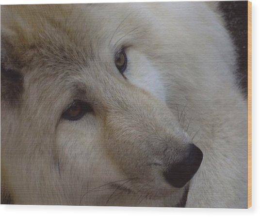 Montana Wolf  Wood Print