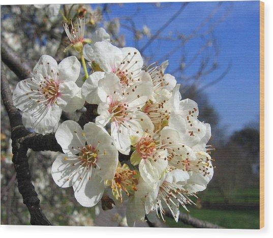 Cherry Blossom 1 Wood Print