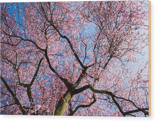 Cherry Blossoms All Over Wood Print