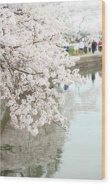 Cherry Blossoms - Washington Dc - 0113104 Wood Print by DC Photographer