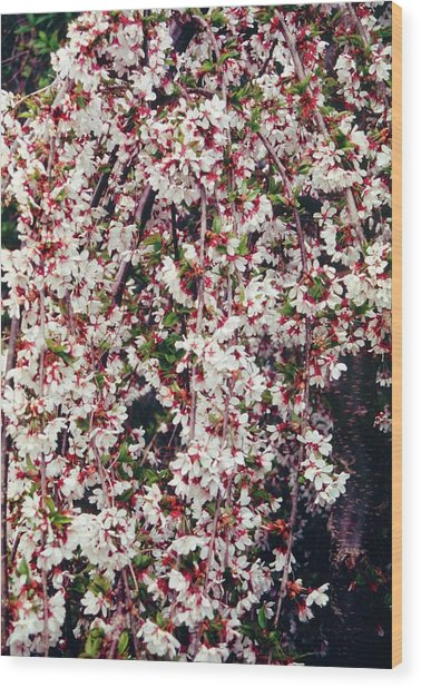 Cherry (prunus 'snow Showers') Wood Print by Mrs W D Monks/science Photo Library