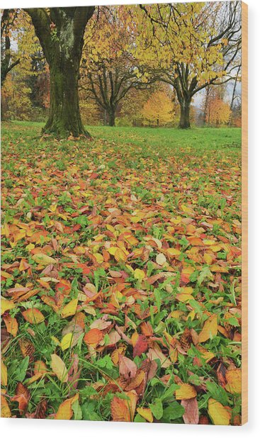Cherry Tree Fall Colors In Orchard Wood Print by Rolf Nussbaumer