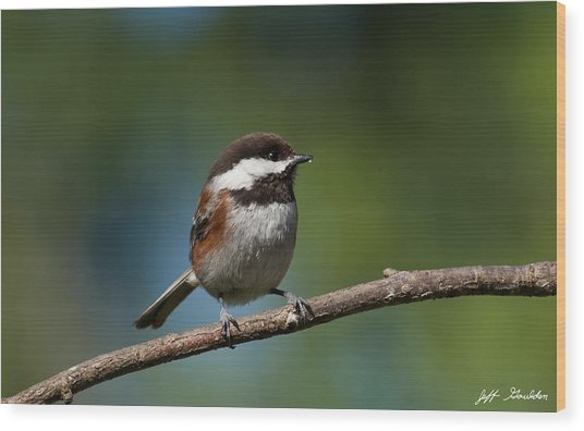 Chestnut Backed Chickadee Perched On A Branch Wood Print
