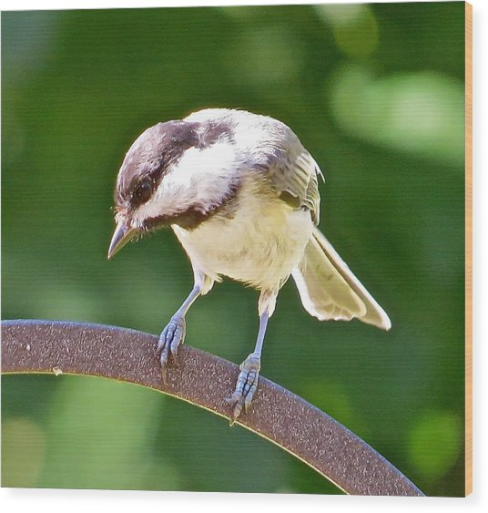 Chickadee 102 Wood Print by Patsy Pratt