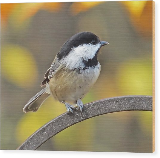 Chickadee 104 Wood Print by Patsy Pratt