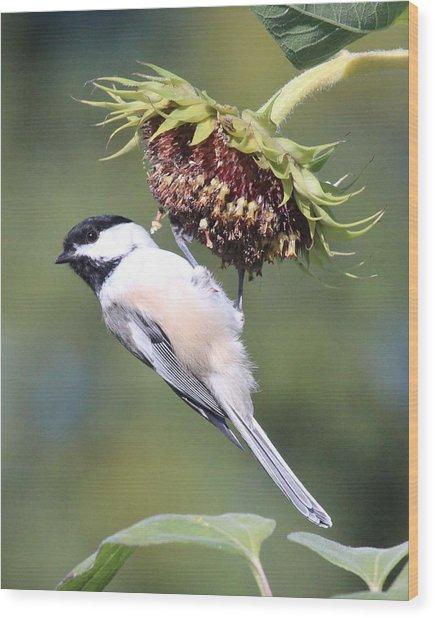 Chickadee On Sunflower Wood Print