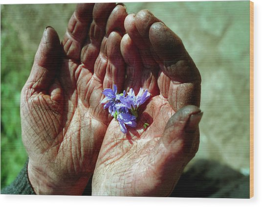 Chicory Flowers In Peasants' Hands Wood Print