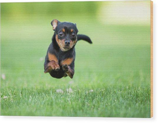 Chihuahua Dog Running Wood Print