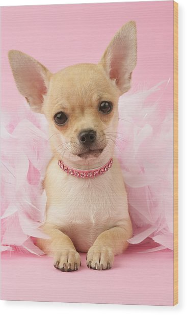 Chihuahua With Feather Boa Wood Print