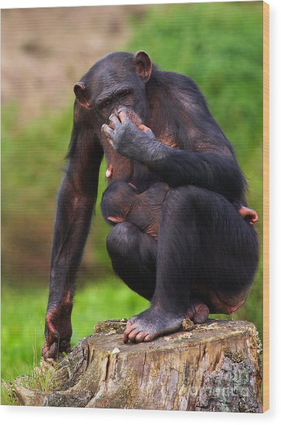 Chimp With A Baby On Her Belly  Wood Print