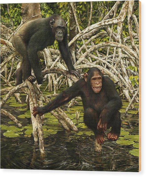 Chimpanzees In Mangrove Wood Print by Owen Bell