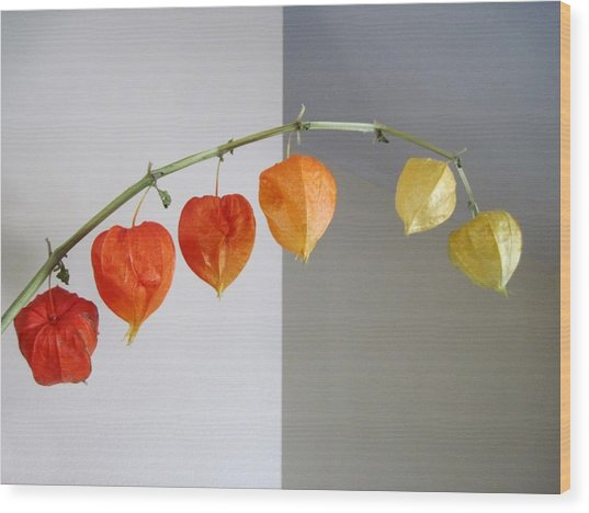 Chinese Lantern Stem Wood Print by Patricia E Sundik