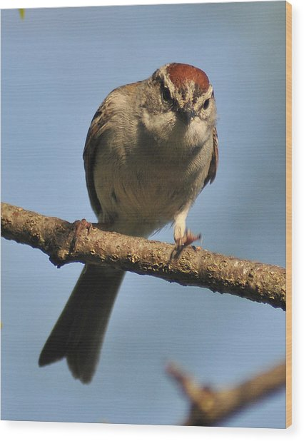 Chipping Sparrow 265 Wood Print