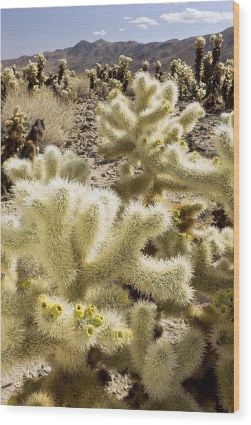 Cholla (cylindropuntia Bigelovii) Cactus Wood Print by Science Photo Library