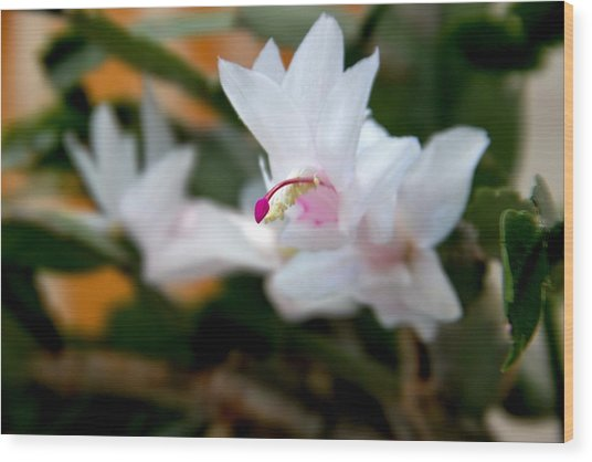 Christmas Cactus Flower Wood Print by Marv Russell