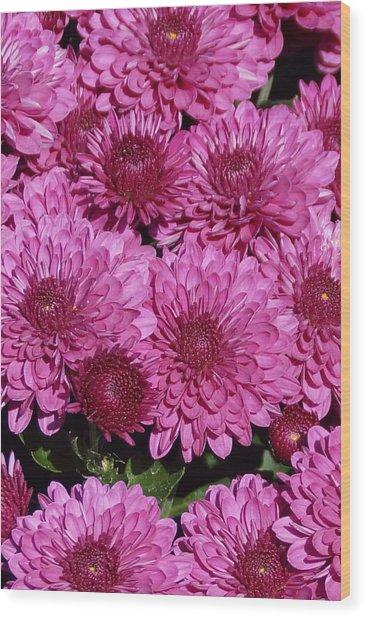 Chrysanthemum 1 Wood Print