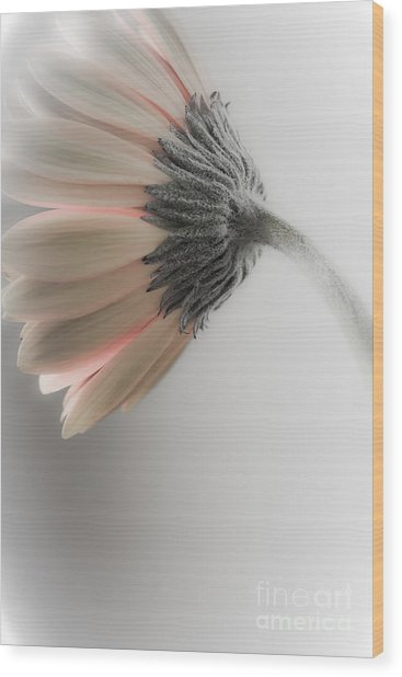 Chrysanthemum Petals 1 Wood Print