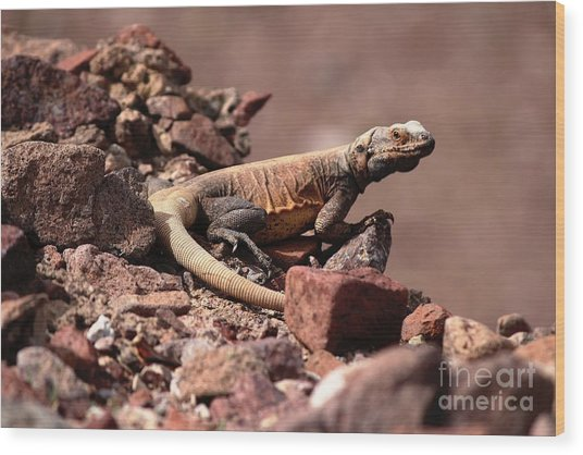 Chuckwalla Wood Print