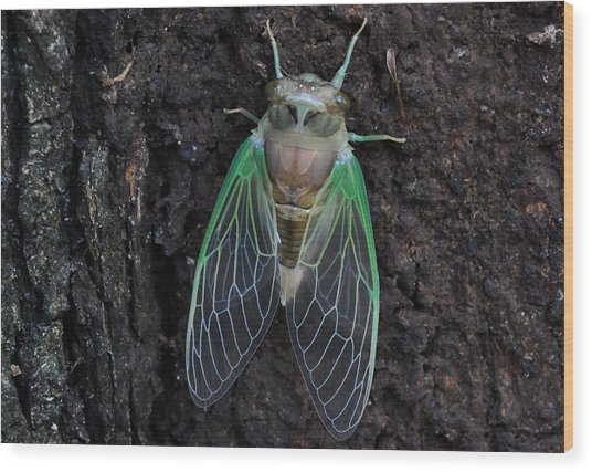 Cicada Photograph By Diane Lent