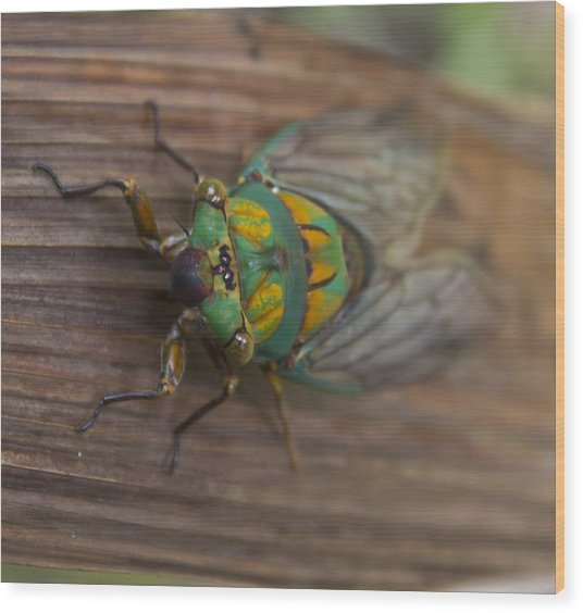 Wood Print featuring the photograph Green Whizzer Cicada by Debbie Cundy