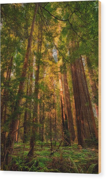 Circle Of Light - California Redwoods Wood Print