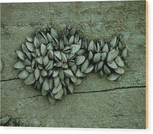 Clam Shells Wood Print