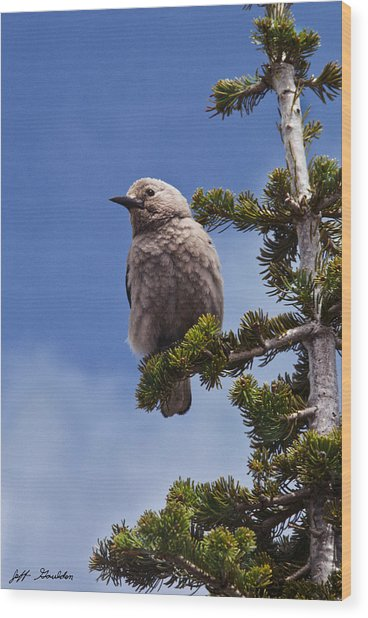 Clark's Nutcracker In A Fir Tree Wood Print