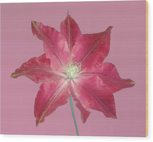Clematis In Gentle Shades Of Red And Pink. Wood Print by Rosemary Calvert