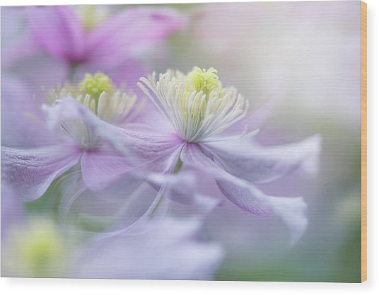 Clematis 'mayleen' Wood Print by Jacky Parker