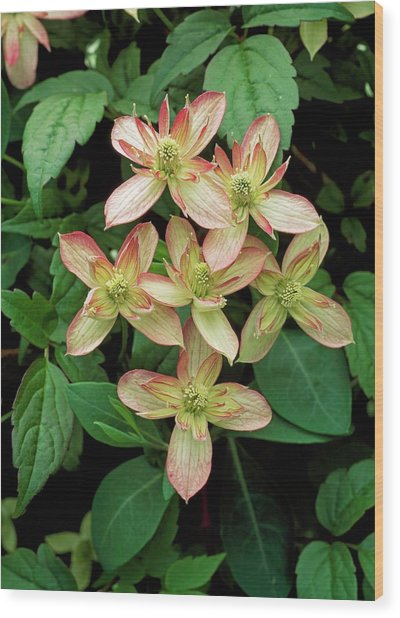Clematis Montana 'marjorie' Wood Print by Geoff Kidd/science Photo Library