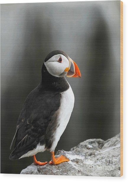 Cliff Top Puffin Wood Print