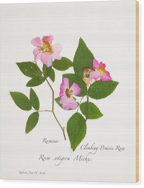 Climbing Prairie Rose  Wood Print