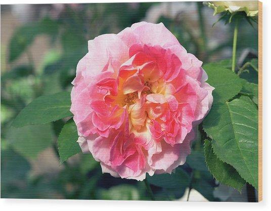 Climbing Rose (rosa 'cesar') Wood Print