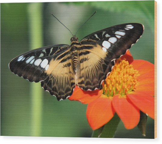 Clipper Butterfly On Flower Wood Print
