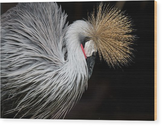 Close Portrait Of A Grey Crowned Crane Wood Print by © Santiago Urquijo