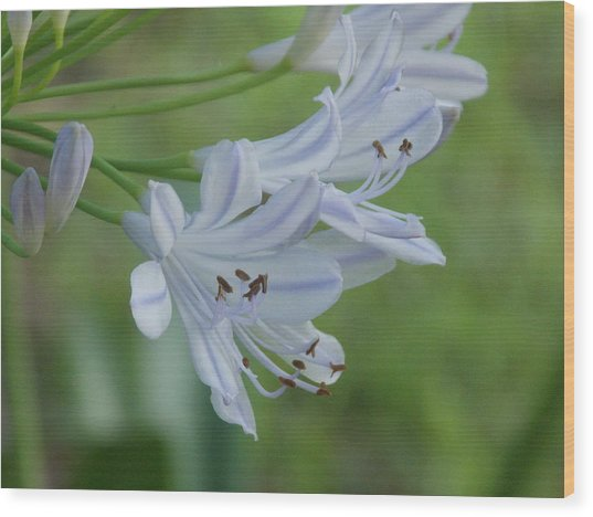 Close Up - African Lily Wood Print by Annette Allman