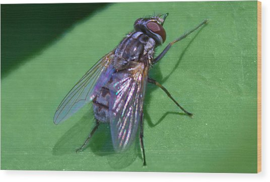 Close Up Fly Wood Print