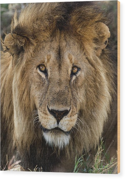 Close-up Of A Lion, Serengeti Wood Print by Life On White