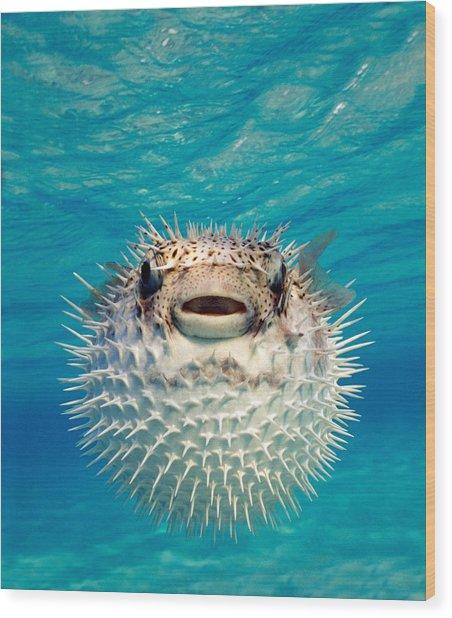 Close-up Of A Puffer Fish, Bahamas Wood Print