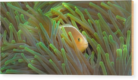 Close-up Of A Skunk Anemone Fish Wood Print