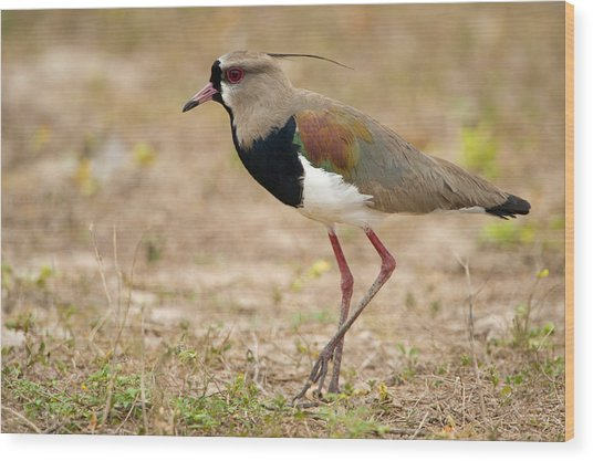 Close-up Of A Southern Lapwing Vanellus Wood Print