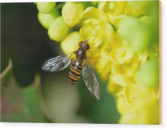 Close-up Of Bee Pollinating On Yellow Flower Wood Print by Pete Vandal / EyeEm