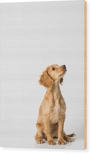 Close-up Of Dog Sitting Against White Background Wood Print by Peter Rose / EyeEm