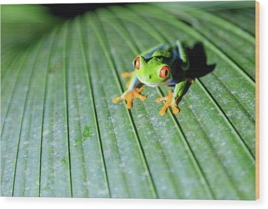 Close Up Of Red Eyed Tree Frog, Costa Wood Print by Matteo Colombo